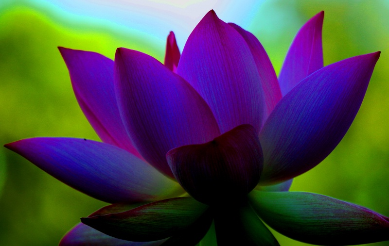 purple lotus flower meaning  flower, Natural flower